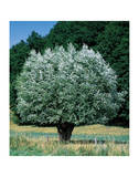 Olivenbaum Kunstdrucke