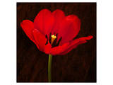 Red Tulip I Prints by Christine Zalewski