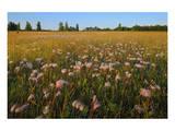 Three-Flowered Avens Prints by Mike Grandmaison
