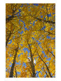 Trembling Aspens in Autumn Poster by Mike Grandmaison