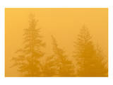 Larches in Fog Prints by Mike Grandmaison