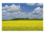 Canola in New Liskeard Posters by Mike Grandmaison