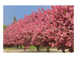 Crabapple Blossoms Prints by Mike Grandmaison