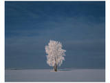 Hoarfrost Covered Cottonwood Print by Mike Grandmaison