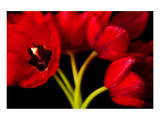 Red Tulips II Prints by Christine Zalewski
