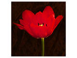Red Tulip II Prints by Christine Zalewski