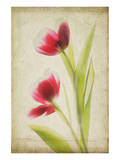 Red Tulips V Posters by Judy Stalus