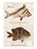 Vintage Fish: Cheilodactylus Vittatus, Morwong and Glyphisodon Sindonis, Damselfish Posters by Christine Zalewski