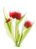 Red Tulips VI Posters by Judy Stalus