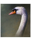 Mute Swan Posters by Chris Vest