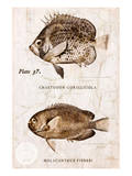 Vintage Fish: Chaetodon Corallicola and Holacanthus Fisheri, Sunburst Butterflyfish and Angelfish Posters by Christine Zalewski