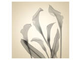 Calla Lilies Poster by Judy Stalus