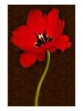 Red Tulip IV Posters by Christine Zalewski