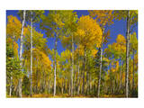 Trembling Aspens Turning Color Print by Mike Grandmaison