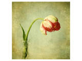 Red Tulip III Prints by Judy Stalus