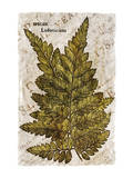 Vintage Fern: Species Ludoviciana, Southern Wood Fern Posters by Christine Zalewski