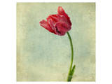 Red Tulip II Poster by Judy Stalus
