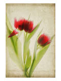 Red Tulips III Posters by Judy Stalus
