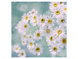 Feverfew II Posters by Judy Stalus