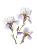 Shades of Purple Iris Print by Judy Stalus