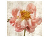 Antique Peony II Prints by Christine Zalewski