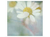White Daisy I Poster by Judy Stalus