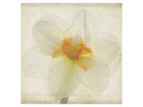 Double Daffodil I Prints by Judy Stalus