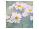 Feverfew I Prints by Judy Stalus