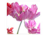 Parrot Tulips Print by Judy Stalus