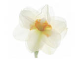 Double Daffodil II Prints by Judy Stalus