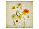 California Poppy Garden I Prints by Judy Stalus