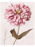 Pink Zinnia II Prints by Christine Zalewski