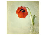 Red Tulip I Prints by Judy Stalus