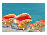 Three Conchs Prints by Jan Michael Ringlever