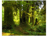 Hoh Rain Forest II Prints by Richard Desmarais