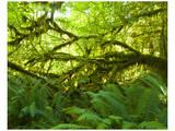 Hoh Rain Forest III Prints by Richard Desmarais