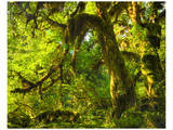 Hoh Rain Forest I Print by Richard Desmarais