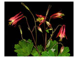 Red Columbine Garden Wildflowers Art
