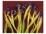 Purple Garden Irises Prints