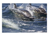 Dolphins in the Wake Prints by Steve Munch