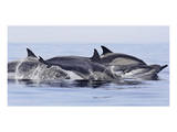 Dolphins at Play Prints by Steve Munch