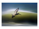 Pelican in Flight Print by Steve Munch