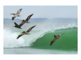 Pelicans Follow Leader Prints by Steve Munch