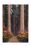 Colorful Shrubs Envelope a Path Beneath Towering Evergreen Trees Giclee Print by Franklin Price Knott