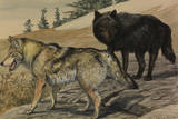 A Painting of Two Species of Wolf Giclee Print by Louis Agassi Fuertes