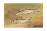 Painting of Silver Bone-Fish Giclee Print by Hashime Murayama