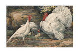 A Painting of White Holland Turkeys and their Chicks Giclee Print by Hashime Murayama