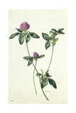 A Painting of a Sprig of Red Clover Giclee Print by Mary E. Eaton
