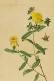 This Shrub Is a Member of the Saint John'S-Wort Family Giclee Print by Mary E. Eaton