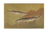 A View of the Carnivorous Barracuda Giclee Print by Hashime Murayama